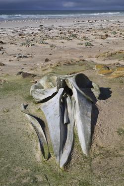 Sei Whale (Balaenoptera Borealis) Skull by Eleanor