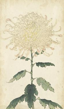 Elegant Chrysanthemums III