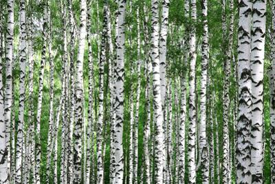 Trunks of Summer Birch Trees by Elena Kovaleva
