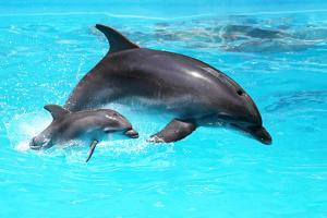 Dolphin With A Baby Floating In The Water by Elena Larina