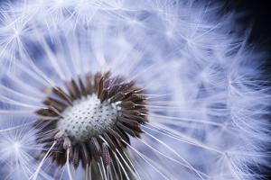 Dandelion Seed Head Macro close up with Some Seeds Missing by elenathewise