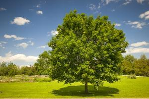 Large Single Maple Tree on Sunny Summer Day in Green Field with Blue Sky by elenathewise