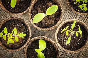 Potted Seedlings Growing in Biodegradable Peat Moss Pots from Above by elenathewise