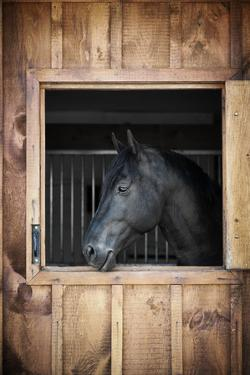 Profile of Black Horse Looking out Stable Window by elenathewise