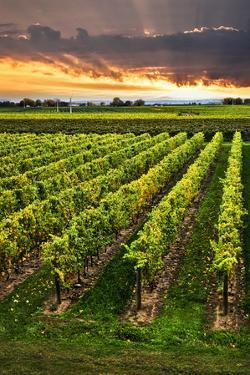 Vineyard at Sunset in Niagara Peninsula, Ontario, Canada. by elenathewise