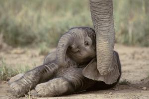 Elephant Baby Lying on Ground