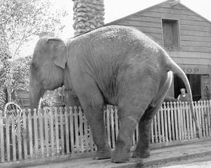 Elephant crossing Picket Fence