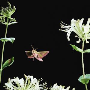 Elephant Hawk Moth (Deilephila Elepenor) Flies to Honeysuckle UK