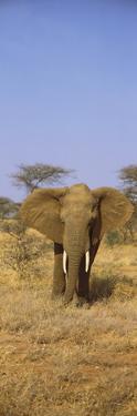 Elephant in a Field, Samburu National Reserve, Kenya