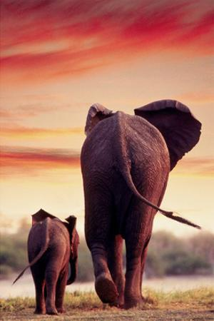 Elephant Walking with Calf