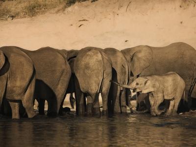 https://imgc.allpostersimages.com/img/posters/elephants-loxodonta-africana-in-chobe-river-botswana-africa_u-L-PFO02H0.jpg?p=0