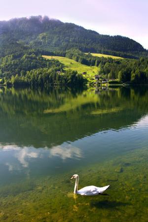 Swan on Lake Grundlsee, Steiermark, Austria, July 2010