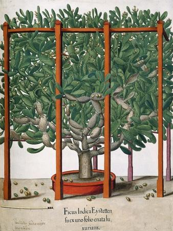 Ficus Indica Eystetten Fis Ex Uno Folio Enata Lu Xurians, 1613