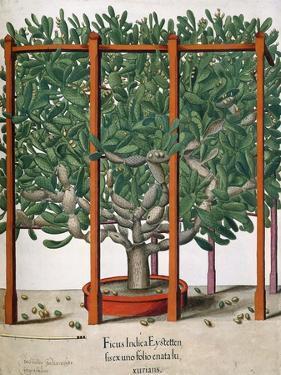 Ficus Indica Eystetten Fis Ex Uno Folio Enata Lu Xurians, 1613 by Elias Gottleib Haussmann