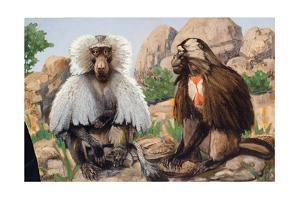 Painting of a Hamadryas and a Gelada Baboon by Elie Cheverlange