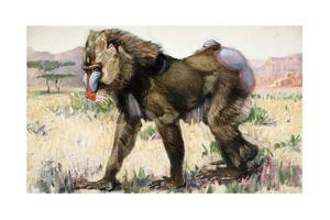 Painting of a Male Drill, Papio Leucophaeus by Elie Cheverlange
