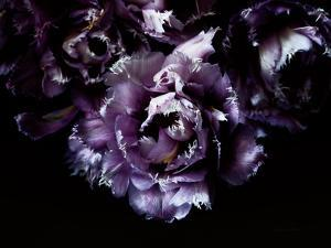 Purple Fringed Tulips II by Elise Catterall