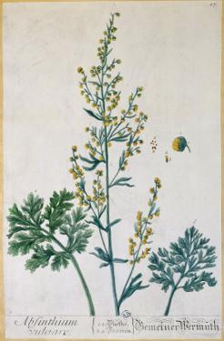 Absinthe, Plate from Herbarium Blackwellianum by the Artist, 1757 by Elizabeth Blackwell