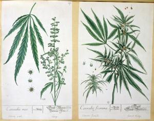 Cannabis Mas and Cannabis Foemina, from 'Herbarium Blackwellianum', 1757 by Elizabeth Blackwell