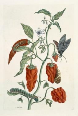 Comfrey, from A Curious Herbal, 1782 by Elizabeth Blackwell
