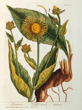Elecampane, Plate 473 from 'A Curious Herbal', Published 1782 by Elizabeth Blackwell