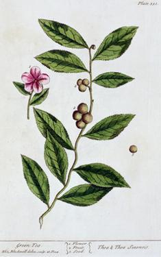 Green tea, 1782 by Elizabeth Blackwell