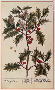 Holly from A Curious Herbal, 1782 by Elizabeth Blackwell