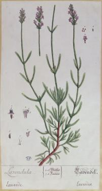 Lavender, Plate from 'Herbarium Blackwellianum' by the Artist, 1757 by Elizabeth Blackwell