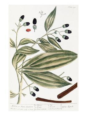 Malabar Cinnamon, 1735 by Elizabeth Blackwell