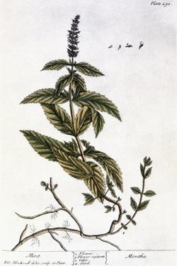 Mint Plant, 1735 by Elizabeth Blackwell