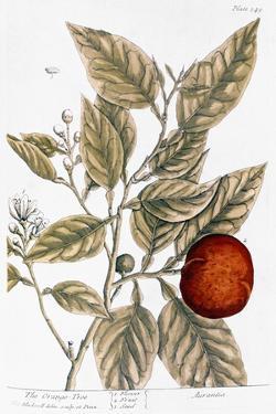Orange Tree, 1735 by Elizabeth Blackwell