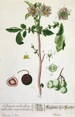 Potato Plant and Fruit, Plate from 'Herbarium Blackwellianum', Published 1757 in Nuremberg, Germany by Elizabeth Blackwell