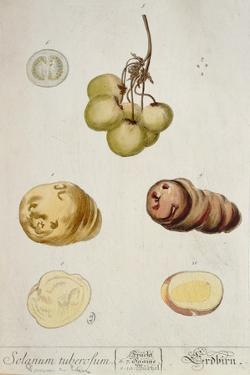 Potato Tubers, Plate from 'Herbarium Blackwellianum' Published in Nuremberg 1757 by Elizabeth Blackwell