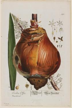 Scilla Offic, 1757-1773 by Elizabeth Blackwell