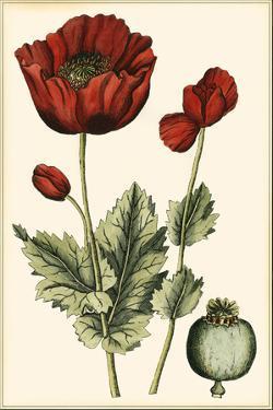 Small Poppy Blooms I by Elizabeth Blackwell