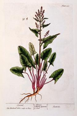 Sorrel, Plate 230 from 'A Curious Herbal', Published 1782 by Elizabeth Blackwell