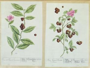 Tea and China Tea, Plate from 'Herbarium Blackwellianum' Published 1757 in Nuremberg, Germany by Elizabeth Blackwell