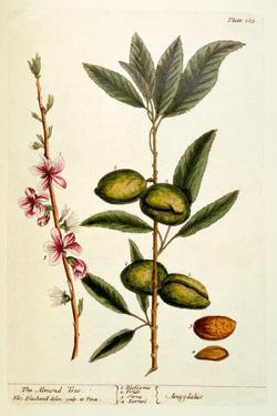 The Almond Tree, Plate 105 from 'A Curious Herbal', Published 1782 by Elizabeth Blackwell