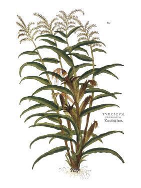Turkish Corn, 1735 by Elizabeth Blackwell