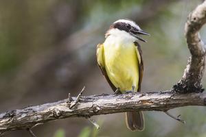 Belize, Ambergris Caye. Great Kiskadee calls from a perch. by Elizabeth Boehm