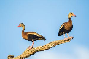 Belize, Crooked Tree Wildlife Sanctuary. Two Black-bellied Tree Ducks perch on a snag. by Elizabeth Boehm