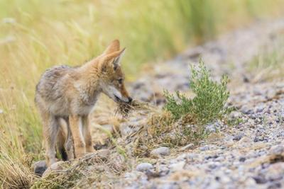 Montana, Red Rock Lakes National Wildlife Refuge, a Coyote Pup Holds a Clump of Grass in it's Mouth by Elizabeth Boehm
