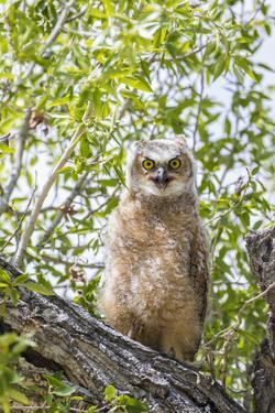 USA, Lincoln County, Wyoming. Recently branched Great Horned Owl chick sits on a cottonwood branch. by Elizabeth Boehm