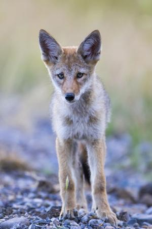 USA, Montana, Red Rock Lakes National Wildlife Refuge, Coyote pup standing in roadway by Elizabeth Boehm
