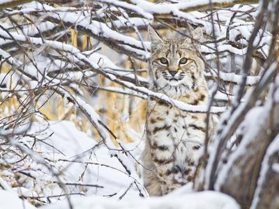 USA, Wyoming, Bobcat Sitting in Snow Covered Branches