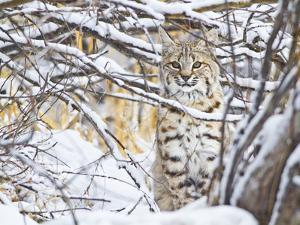 USA, Wyoming, Bobcat Sitting in Snow Covered Branches by Elizabeth Boehm