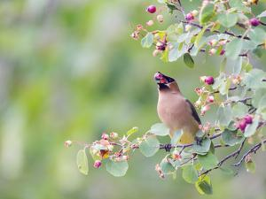 USA, Wyoming, Cedar Waxwing Eating Fruit from Serviceberry Shrub by Elizabeth Boehm
