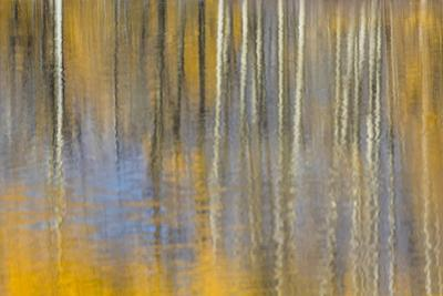 USA, Wyoming, Grand Teton National Park, Autumn aspen trees are reflected in the Snake River. by Elizabeth Boehm