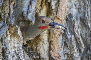 Usa, Wyoming, Lincoln County, a Northern Flicker removes a fecal sac from the nest by Elizabeth Boehm