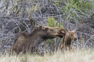 USA, Wyoming, newborn moose calf tries to stand with it's mother nuzzling by Elizabeth Boehm